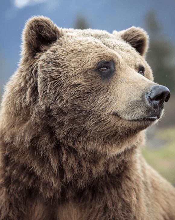 CEL_Alaska_Bear